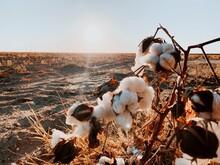Cotton Field In Texas Near Wind Farm