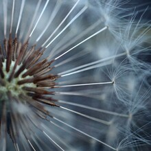 The Dandelion Flower