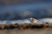 A Sanderling On A Beach
