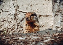 Golden Mantled Ground Squirrel Poking Its Head Out Of Its Burrow By A Wall