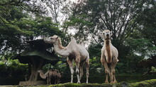 Camels In A Zoo