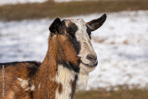 Close-up portrait of a domestic goat or simply goat Fototapet