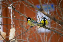 Two Blue Tits Sit On The Branches Of A Rowan Tree In Winter On The Background Of A Red Wall. Две синички сидят на ветках на фоне красной стены