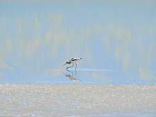 An American Avocet Tiptoeing Through The Shallow Waters Of Soda Lake, In Search Of Tiny Saltwater Shrimp To Eat, In The Carrizo Plain National Monument, California.