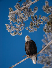 Bald Eagle Perched In Tree On Winter Day