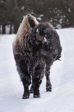 Bison With Ice Covering Face