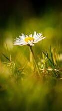 Daisy On A Spring Meadow