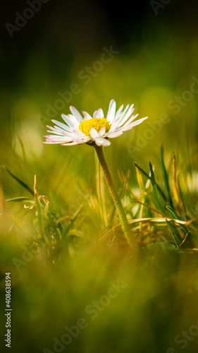 Obraz Daisy on a spring meadow - fototapety do salonu