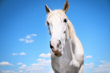 Grey Horse Outdoors On Sunny Day, Closeup. Beautiful Pet