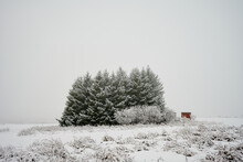 Coniferous Trees In Snowy Field