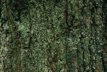 Dark Green Tree Bark Texture For Background. Beautiful Green Wallpaper. Moss On The Bark Of A Tree. Oak In The Forest Covered With Moss And Lichen. Copy Space, Template For Design.