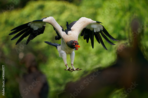 Stampa su Tela King Vulture - Sarcoramphus papa big bird of prey,  family Cathartidae, black and white body, red, orange head, beak and throat