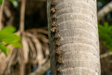 Proboscis Bats On Palm Tree Trunk At Lake Sandoval, Tambopata Nature Reserve, Puerto Maldonado, Madre De Dios, Peru