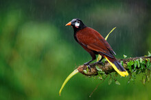 Montezuma Oropendola - Psarocolius Montezuma Tropical Icterid Bird, Caribbean Coastal Lowlands, Mexico, Panama, Nicaragua, Honduras, Costa Rica, Brown Big Noisy Bird In The Rain Doing Flip Head Down