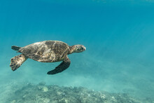 Sea Turtle Swims Through The Ocean Off Oahu, Hawaii
