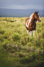 Brown And White Spotted Horse Stands In Grassy Field On Gloomy Day