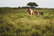 Brown And White Spotted Horse Gallops Through Grassy Field