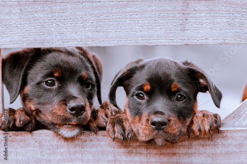 Leinwand Poster Two Puppy Dog Animal Closeup Silver White Black Aesthetic Background