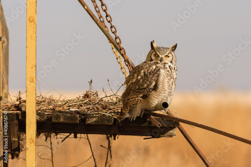 Carta da parati Great Horned owl sits on the remains of a nest attached to a grain elevator in A