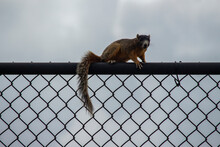 Fox Squirrel On Metal Fence Silhouette, On A Gray Cloudy Day.