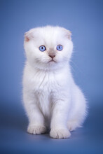 Cute Scottish Fold Shorthair Silver Color Point Kitten With Blue Eyes