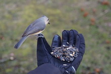 Hand-feeding A Tufted Titmouse With A Mixed Of Wild Seeds And Sunflower Seeds