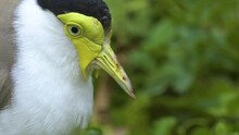 Close Up Of A Masked Lapwing Bird