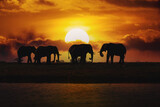 Fototapeta Sawanna - Evening silhouette over sunset of African Elephant, Botswana. Africa safari wildlife