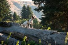 Jack Russell Terrier Sitting Alert On A Fallen Tree.