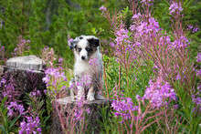 An Australian Shepherd Puppy Sitting On A Tree Stump Among A Patch Of Wild Flowers.
