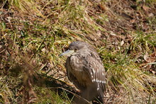 Black Crowned Night Heron In The Field