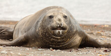 Portrait Of A Young Male Southern Elephant Seal