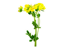 Lotus Corniculatus Soil Control, Medicinal And Ornamental Flower Plant. Known As Bird's-Foot Trefoil, Eggs And Bacon, Birdsfoot Deervetch, And Bird's-Foot Trefoil. Isolated On White Background.