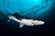 canvas print picture - Blue Shark on Cape Point South Africa