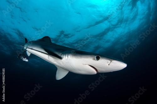Blue Shark on Cape Point South Africa Wallpaper Mural