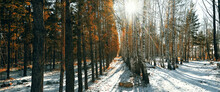 Winter Snow Forest Of Birch And Pine Trees, The Sun's Rays Break Through The Trees.