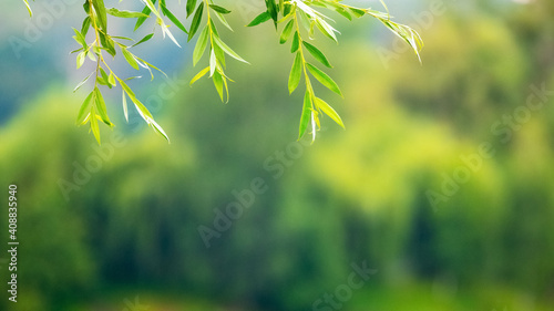 Fototapety, obrazy: Hanging willow branches with leaves on a blurred background