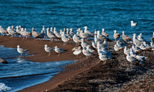 A Flock Of Gulls On The Spit