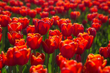 Blooming Fields Of Red Tulips In Europe.
