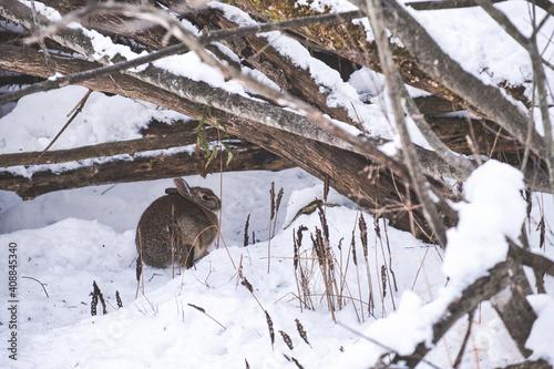 Srebrzysty królik ukrywa się pod gałęziami w śniegu