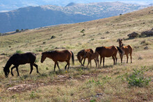 Horses Living In Herds In Their Natural Environment On The Mountain.
