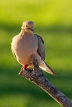 Mourning Dove Perched On A Dead Branch.
