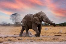 An Adult African Elephant Bull Having A Dust Bath With Sand. Nxai Pan National Park, Botswana - Africa