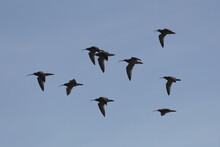 Calling Curlews In Flight