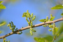 Black Mulberry (Morus Nigra L.). Branch With Buds On A Blue Sky Background