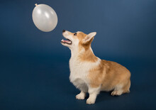 Welsh Corgi Plays With A White Ball On A Blue Background.