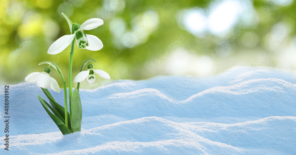 Fototapeta Beautiful snowdrops growing through snow outdoors on sunny day, space for text . First spring flowers