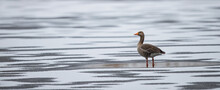 Greylag Goose (Anser Anser) Standing Lonely On Frozen Lake With Fresh Snow Cover, Baden-Wuerttemberg, Germany