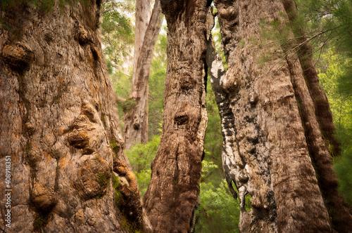 Fototapeta Giant Tingle Trees, Walpole, Western Australia