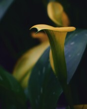 Photo Of Artistic Yellow Calla Lilies In The Garden